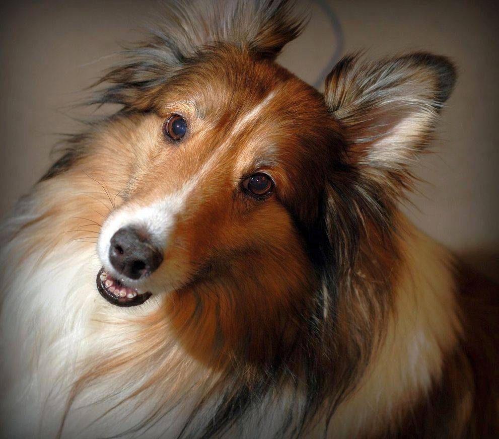 Характеристика породы шелти, уход и содержание собак