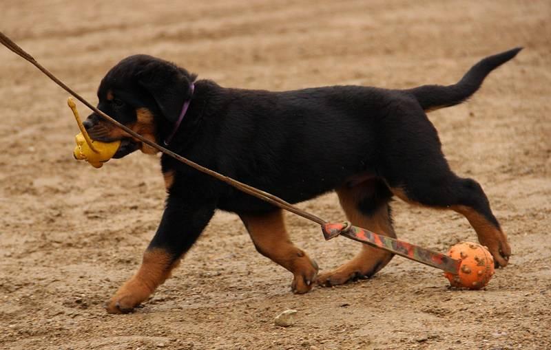 Ротвейлер: подробное описание достоинств и недостатков породы. особенности дрессуры, воспитания щенка и молодой собаки (105 фото + видео)
