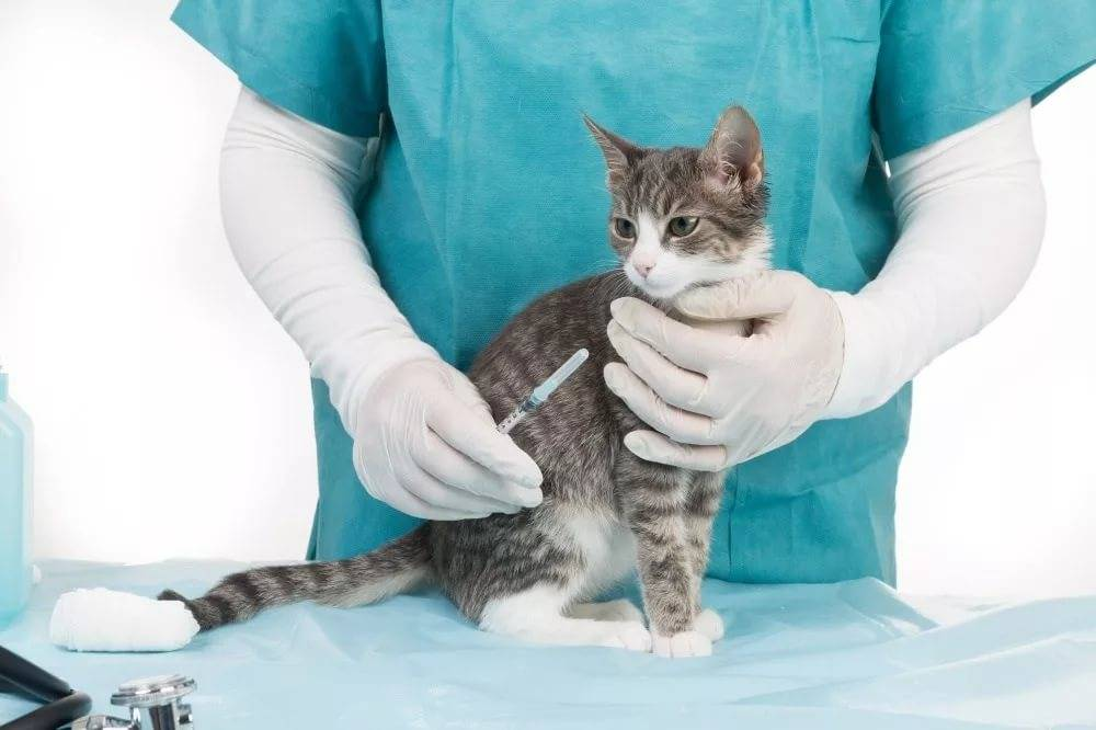 Фип у кошек: как лечить и профилактировать недуг