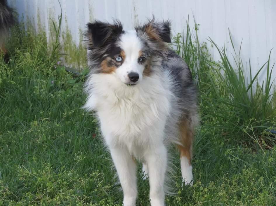Алопекис (маленькая греческая собака): описание породы с фото и видео