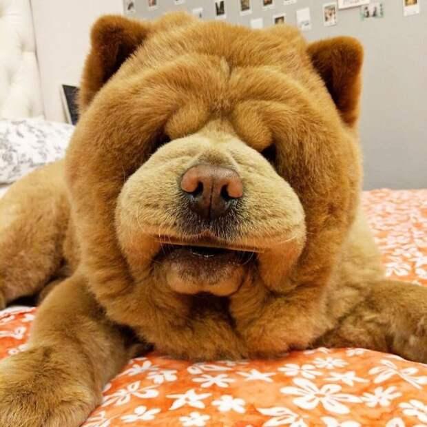 Собаки, как медведи: краткое описание пород