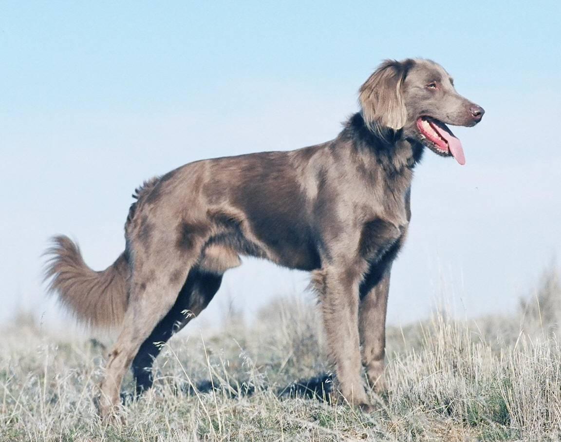 Дратхаар собака. описание, особенности, уход и цена дратхаара
