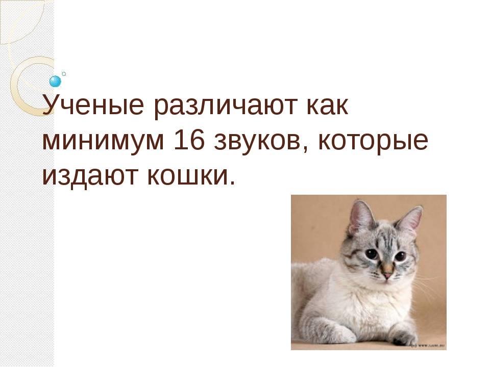 Сколько звуков может издавать кошка: мурлыканье, мяуканье