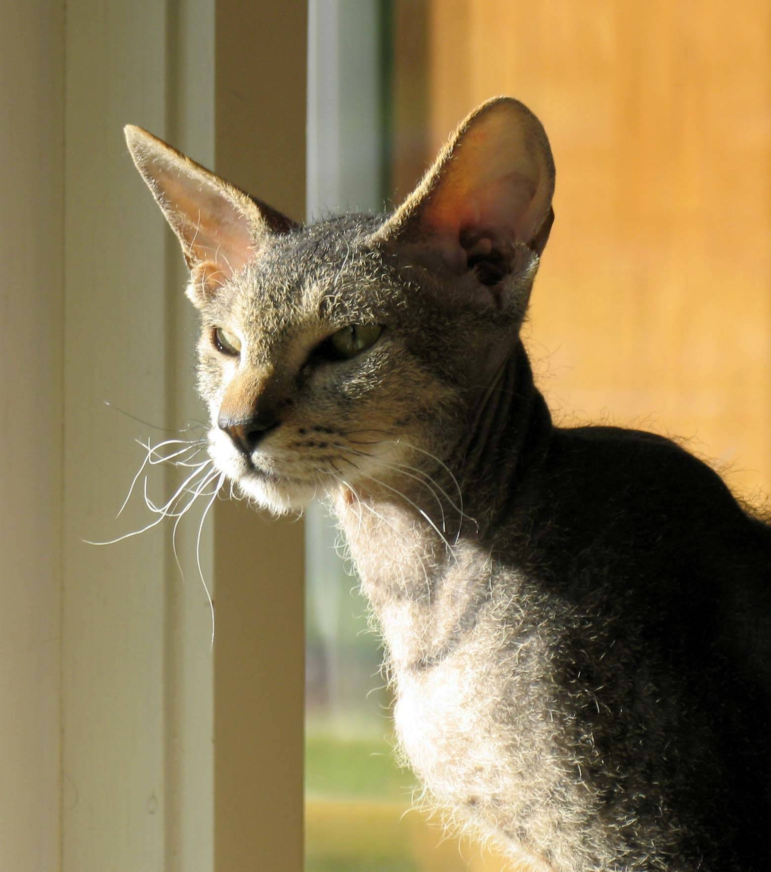 Петерболд: все о кошке, фото, описание породы, характер, цена