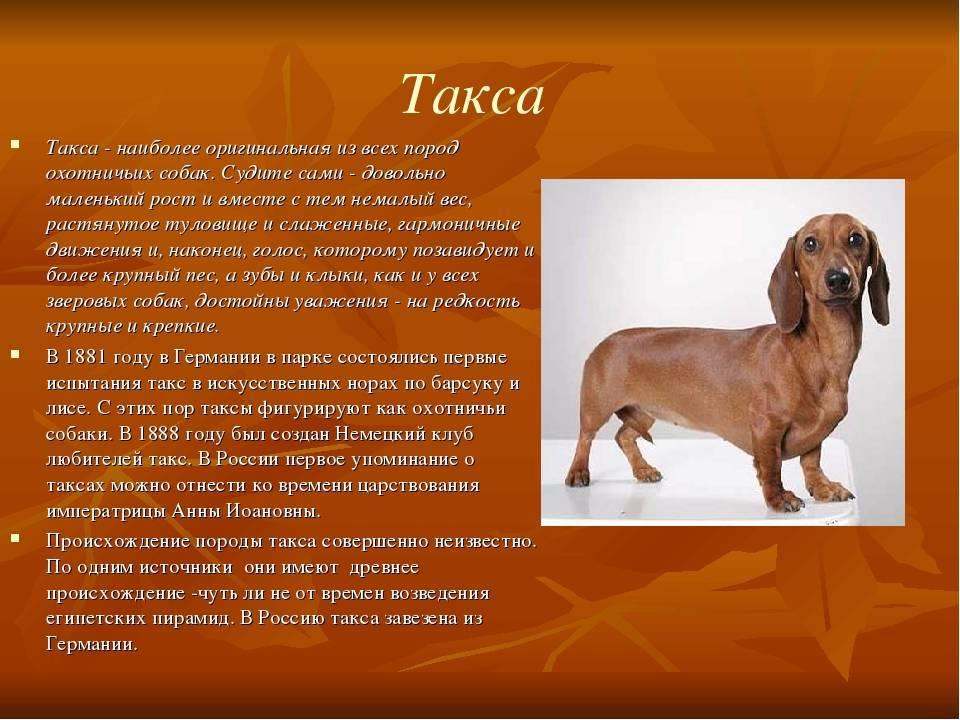 Английский сеттер - порода собак - информация и особенностях | хиллс