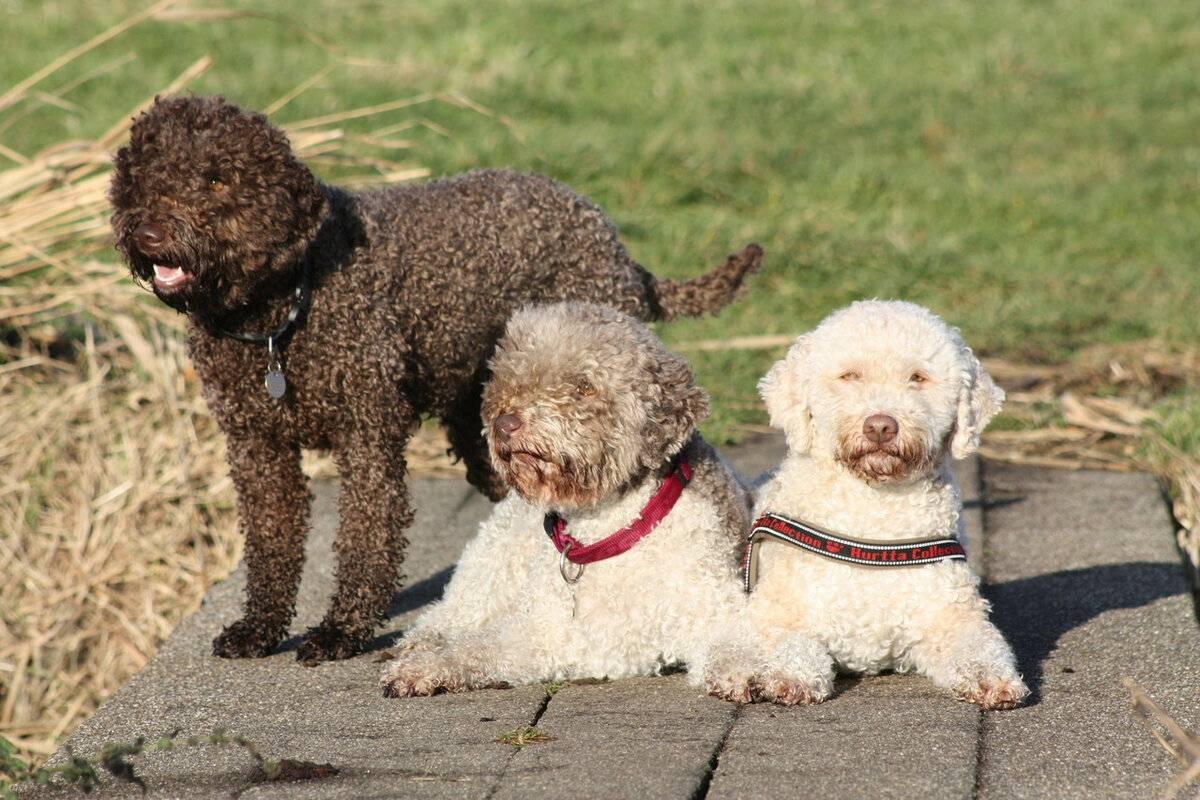 Лаготто-романьоло (24 фото): стандарт итальянских водяных собак, плюсы и минусы породы. особенности содержания