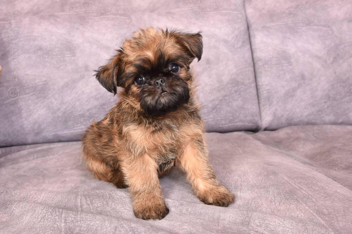 Собака бельгийский гриффон: фото породы, уход, характеристики