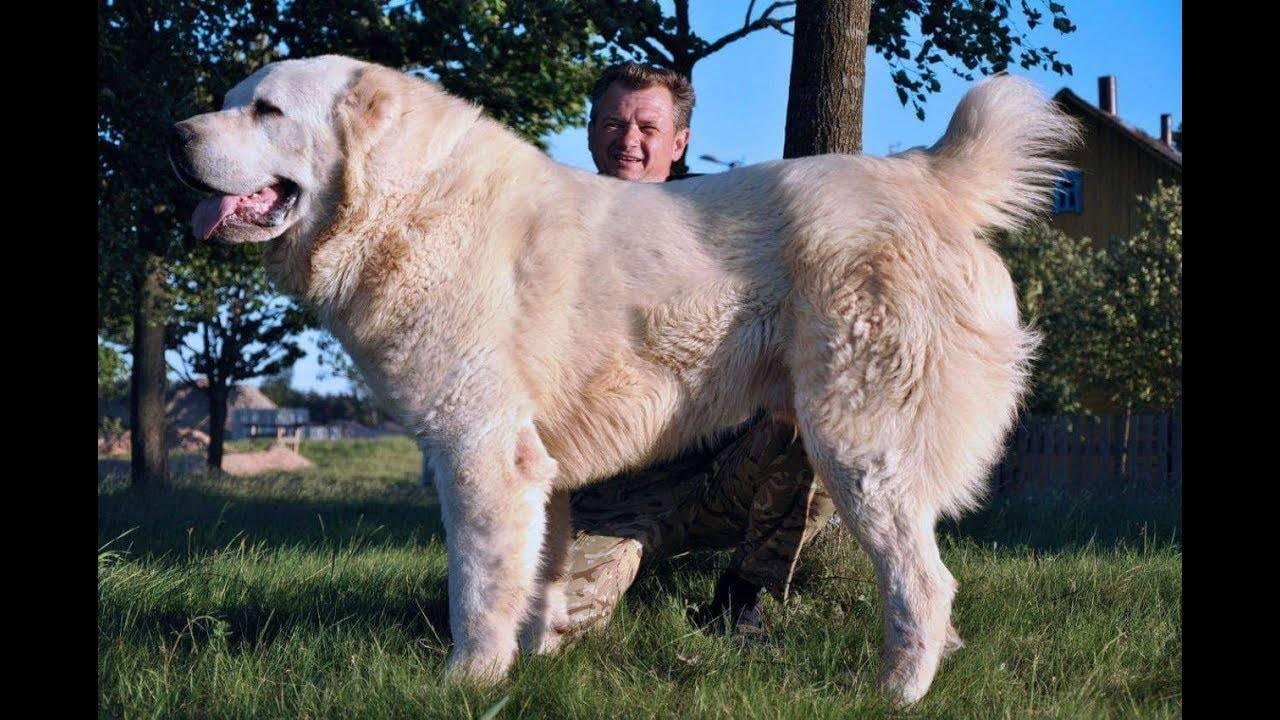 Бульдозер - самый большой алабай в мире: фото собаки, черты характера, рост и вес + другие знаменитые представители породы