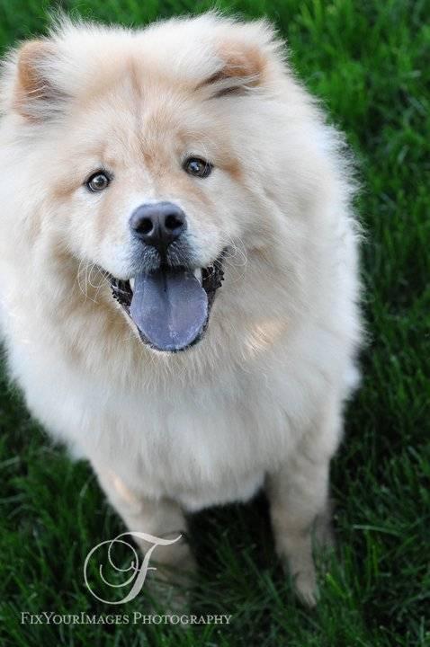 Помесь хаски со шпицем, немецкой овчаркой, лайкой и другими собаками, фото метисов