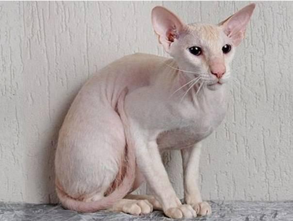 Какая кошка самая дорогая в мире: топ-10 элитных пород с описанием