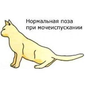 Мочекаменная болезнь у котов и кошек: признаки и особенности лечения