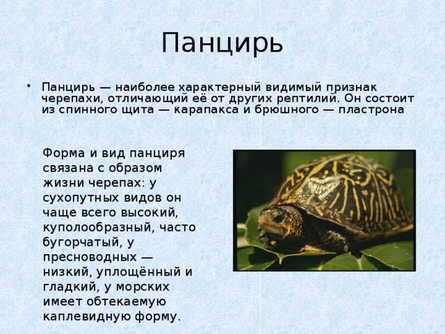 Из чего состоит панцирь черепахи