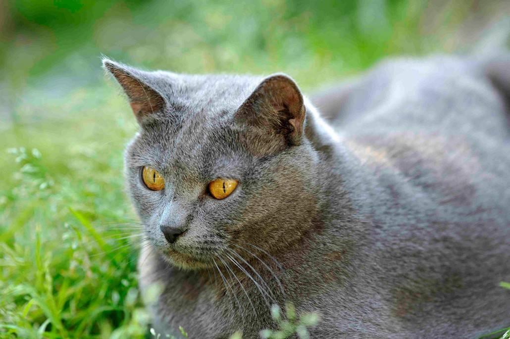 Картезианская кошка: описание породы шартрез, характер и уход