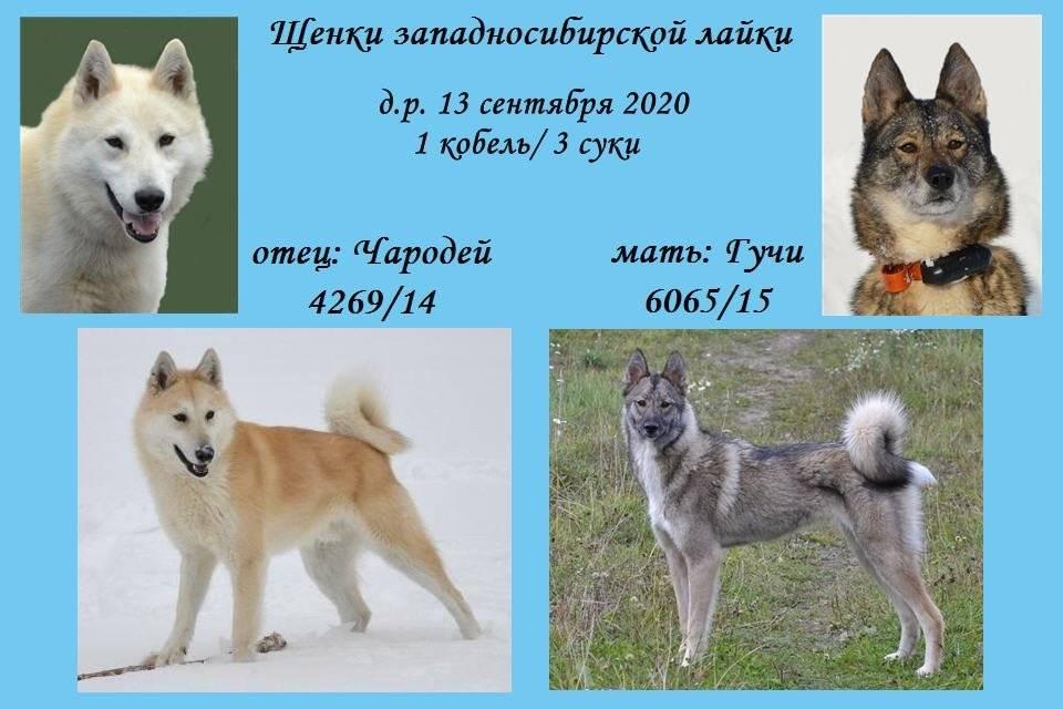 Порода собак сибирская лайка: фото, видео, описание породы и характер