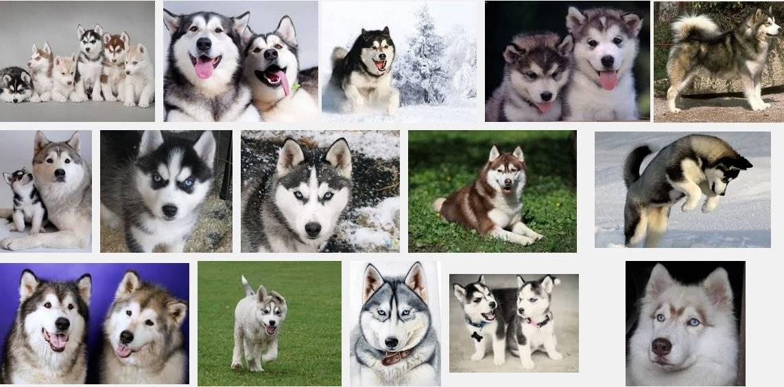 6 пород собак, внешне похожих на хаски