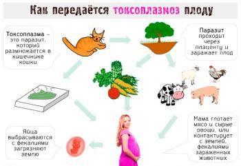 Токсоплазмоз у кошек: симптомы, лечение, профилактика – dr.hug