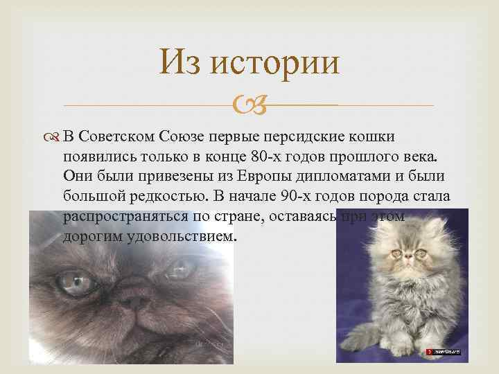 Чем кормить персидскую кошку: лучшие корма + натуральное питание чем кормить персидскую кошку: лучшие корма + натуральное питание