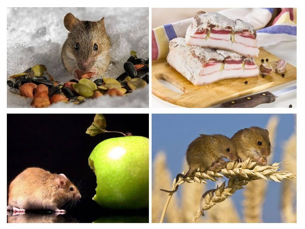 Чем питаются мыши в домашних условиях и в природе полевые и летучие