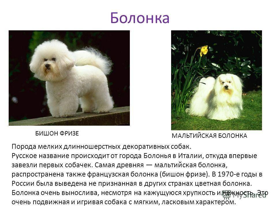 Как содержать болонку: описание породы, правила ухода, фото собак