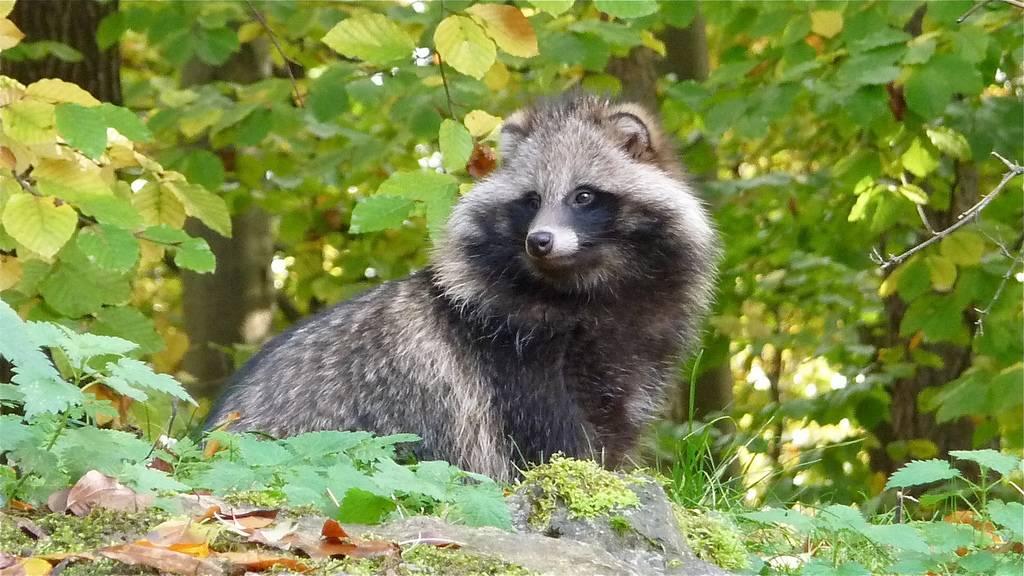 Енотовидная собака (уссурийская): фото животного, описание вида, где обитает и чем питается, интересные факты
