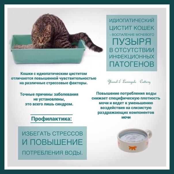 Идиопатический цистит у кошек: симптомы и лечение