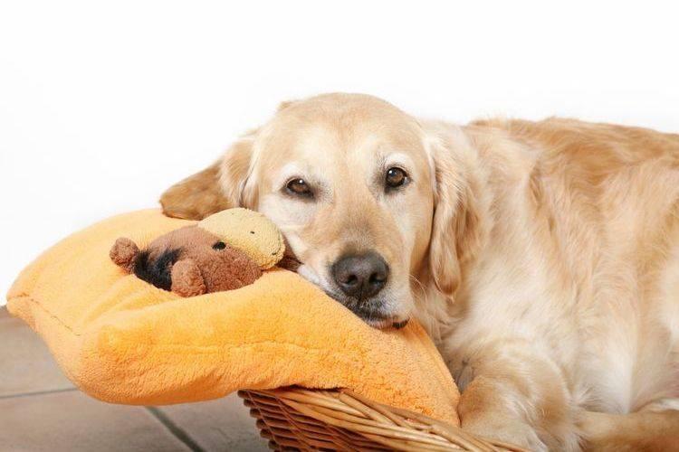 Ложная беременность у собак: что делать - признаки и симптомы, сколько длится ложная беременность у собак, как помочь или избежать неприятности - лапы и хвост
