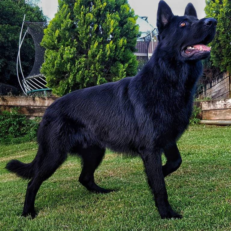 Черная немецкая овчарка: длинношерстная и короткошерстная, цена, уход, фото и особенности