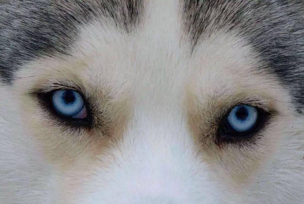 Хаски с разными глазами – что считается нормой, а что – дефектом