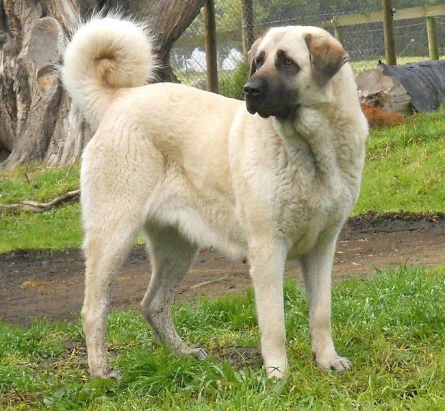 Анатолийская овчарка - фото и описание породы