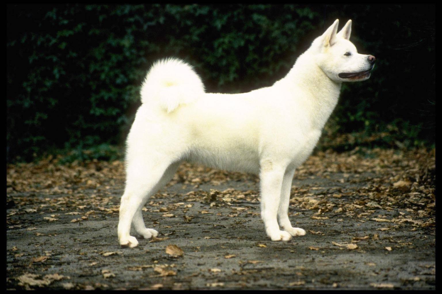 Хоккайдо (Айну) – японская порода собак