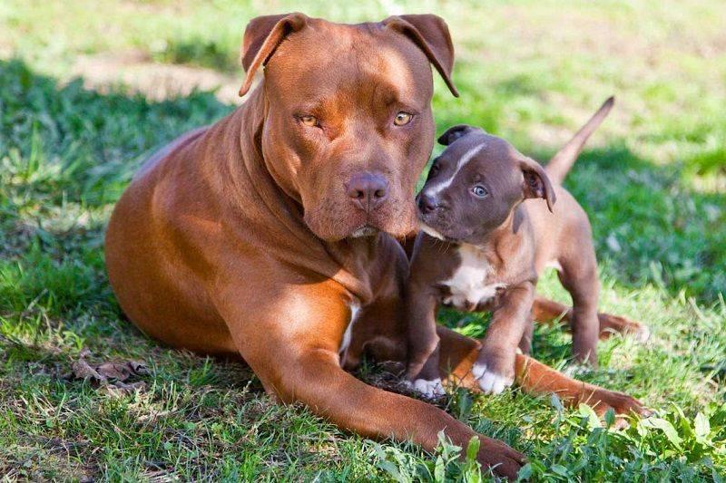 Бойцовские породы собак: топ 10 с фотографиями и названиями