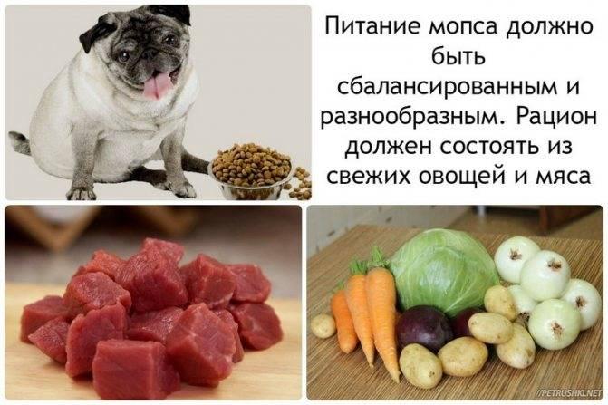 Чем кормить мопса: сухой корм или натуральное питание
