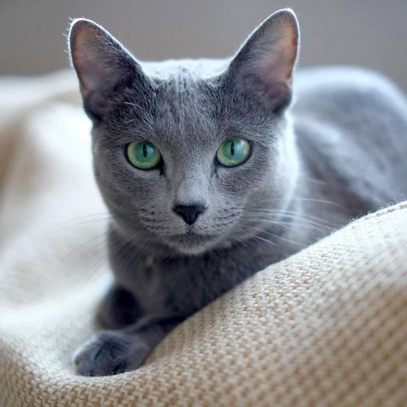 Какие породы кошек самые ласковые и добрые