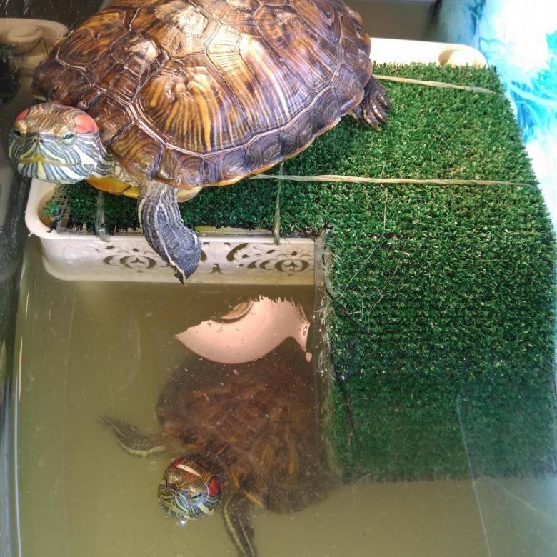 Красноухая черепаха — где живет и как за ней ухаживать
