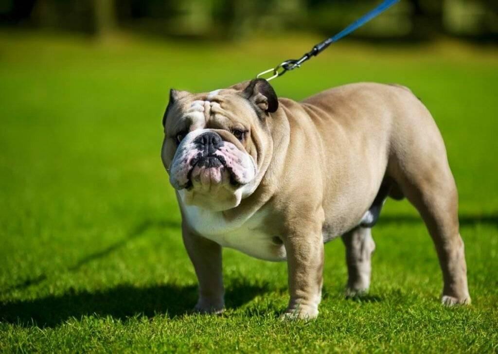 Ожирение у собак: причины и лечение