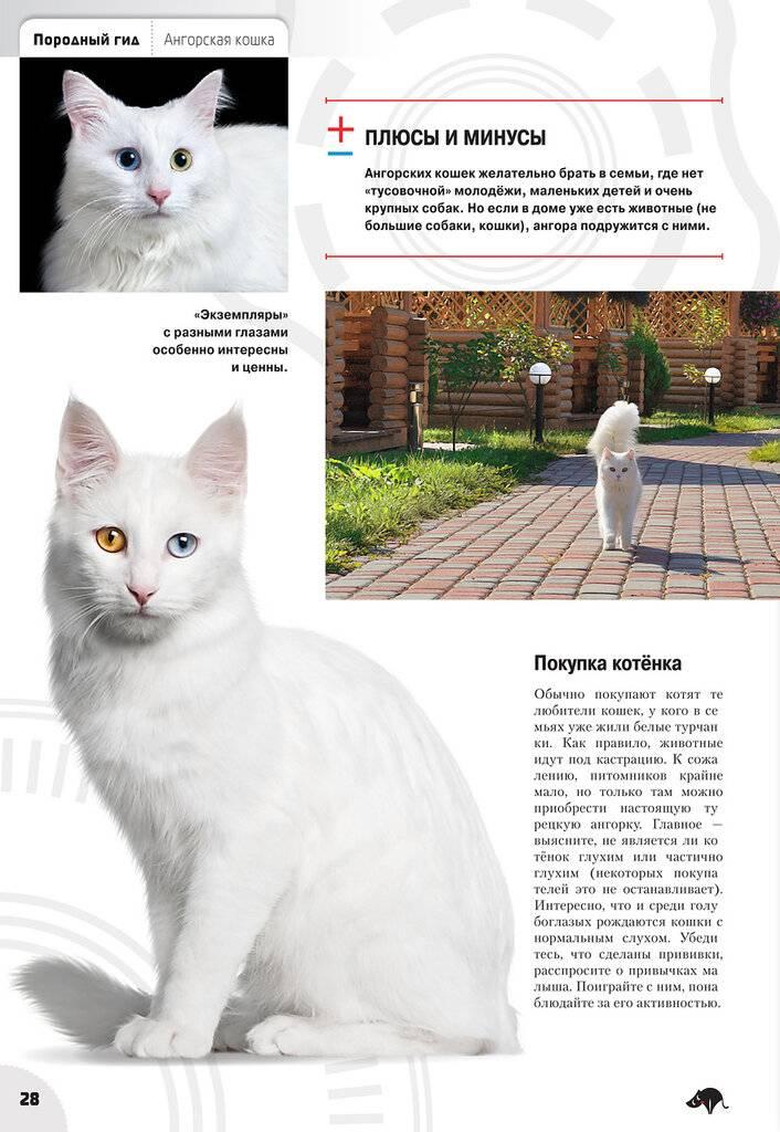 Турецкая ангора (ангорская кошка): фото, описание, характер, содержание, отзывы