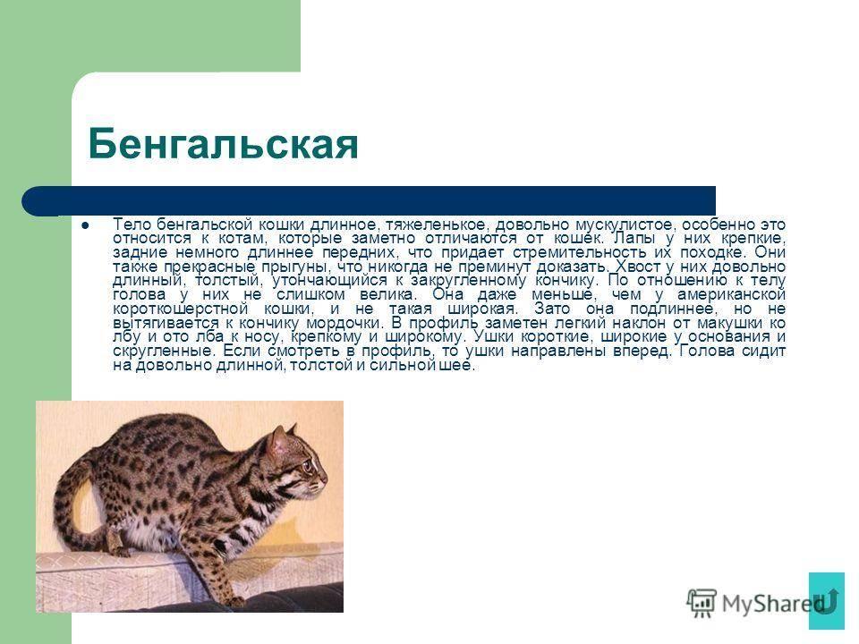 Леопардовая кошка: описание и условия содержания :: syl.ru