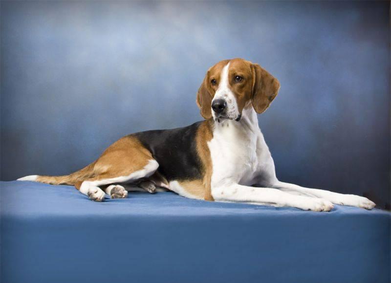 Американский фоксхаунд: описание породы собак, цена