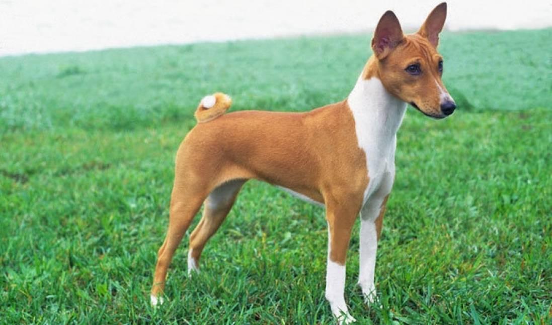 Тишина и покой: 6 пород собак, которые практически не лают