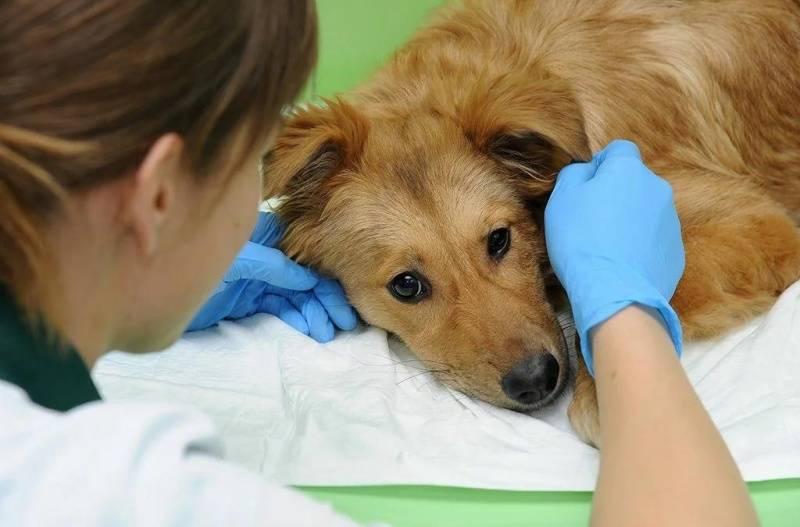 Собака часто дышит: факторы провоцирующие учащенное дыхание, высунув язык, кашляет или хрипит,