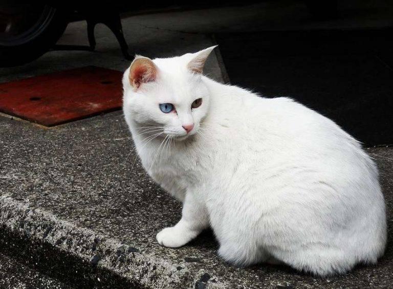 Анатолийская кошка - вики