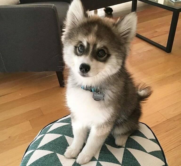 Сибирский хаски: фото, содержание, уход за собакой и описание породы