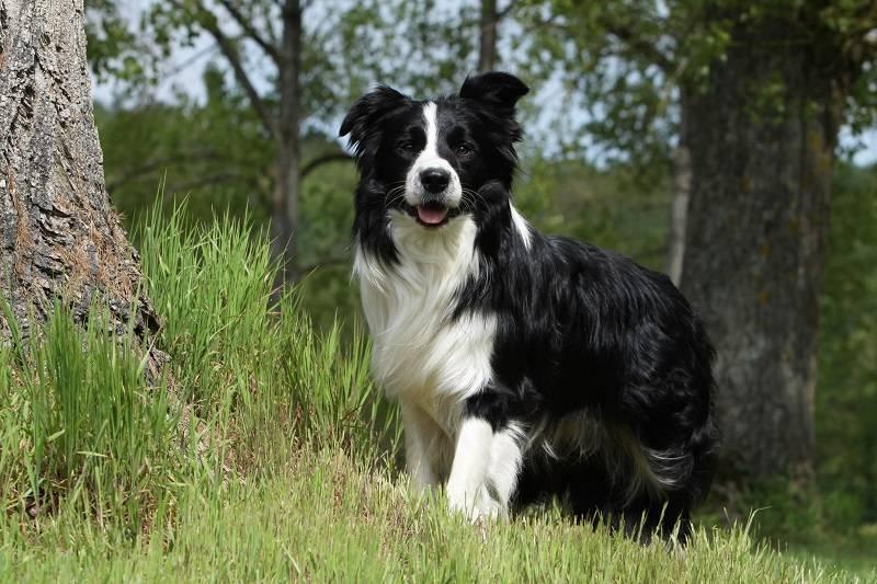 Пастушьи собаки | породы скотогонных собак с фото и названиями