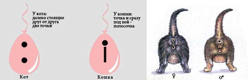 Отличие кота от кошки. как отличить кота от кошки