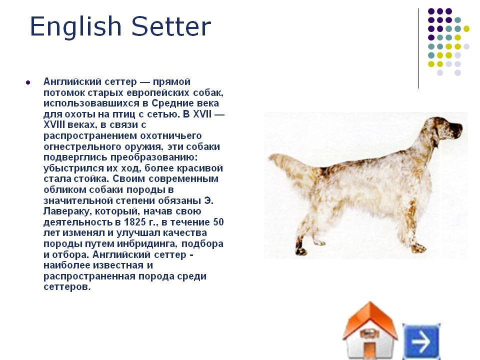 Английский сеттер (лаверак) собаки: фото, описание породы, характер и цены