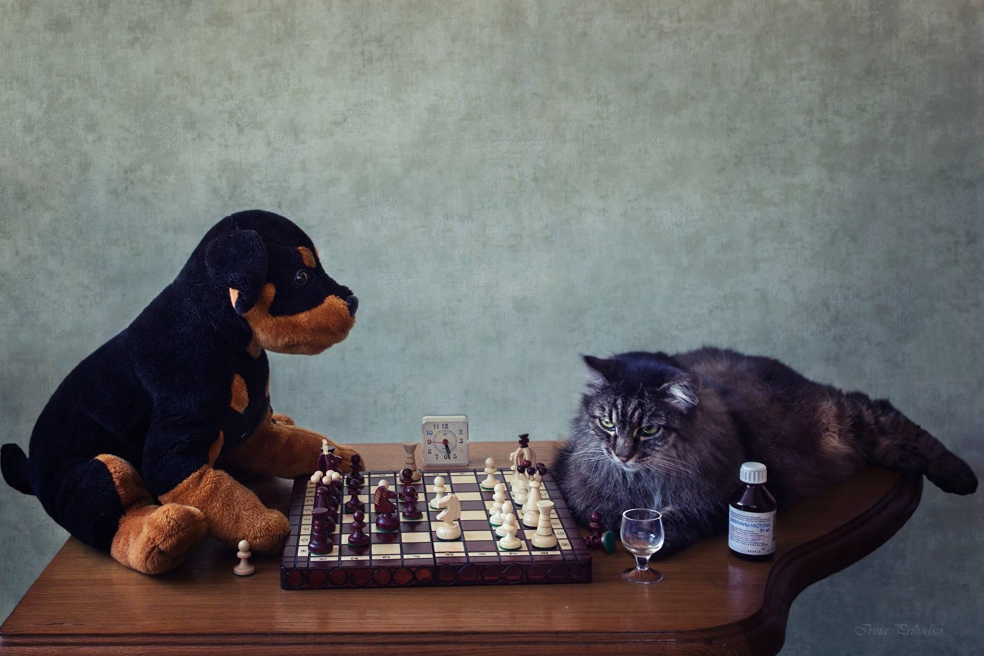 Топ 10 самых умных пород кошек в мире - названия, описание и фото — природа мира