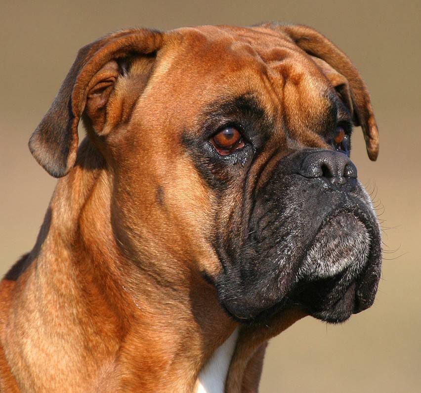 Немецкий боксер – энциклопедия о собаках
