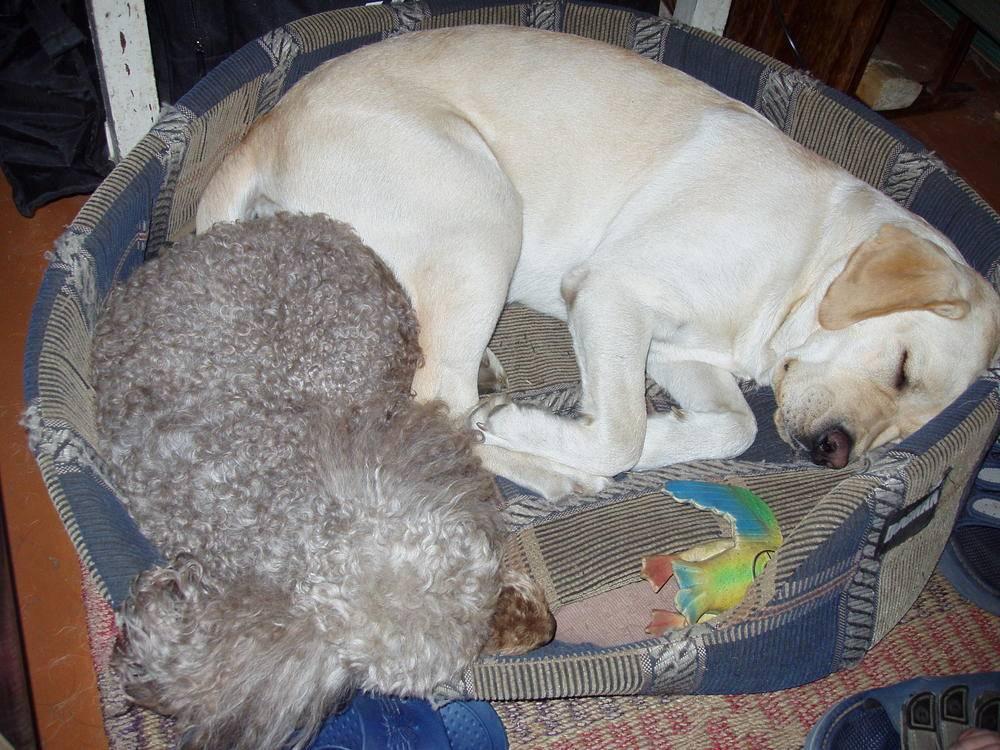 Собака перестала спать ночью. обучаем щенка спать ночью - меднаука