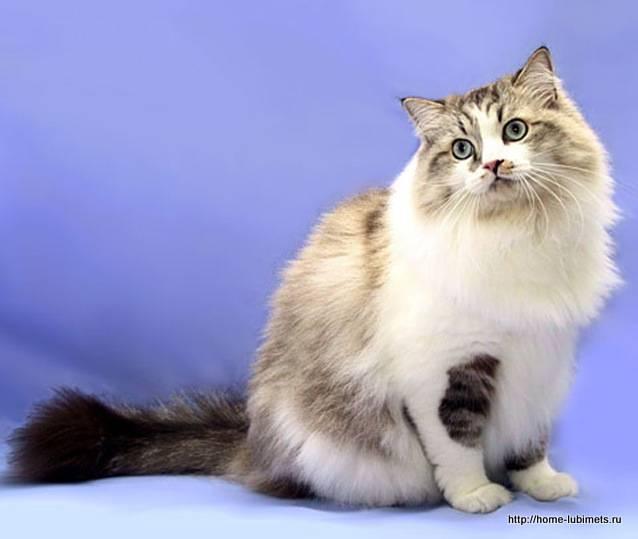 Рагамаффин (порода кошек) — википедия