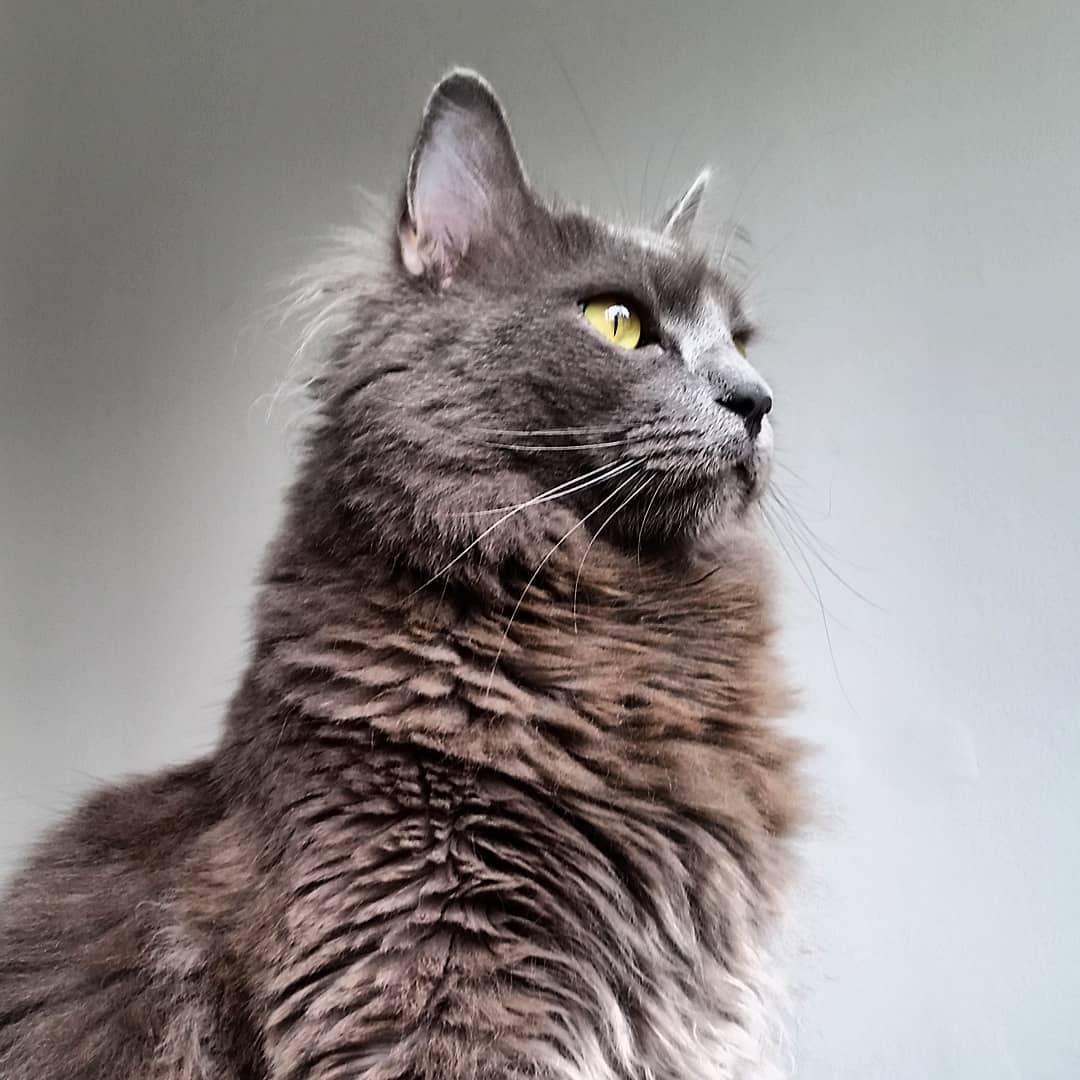 Нибелунг: фото кошки, цены, описание породы, характер, видео нибелунг: фото кошки, цены, описание породы, характер, видео